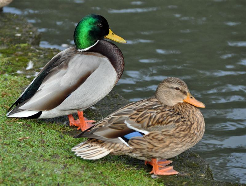whats a female duck called